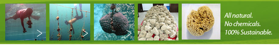 Process of Growing Sponges